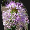 Rocky Mountain Bee Flower by Jim Thomas