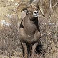 Rocky Mountain Big Horn Sheep by Gary Langley