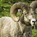 Rocky Mountain Bighorn Sheep by Timothy Hacker
