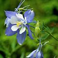 Rocky Mountain Blue Columbine by Jim Fillpot