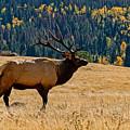 Rocky Mountain Bull Elk by Ernie Echols