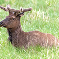 Rocky Mountain Elk In Velvet by Philip Rodgers