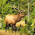 Rocky Mountain Elk by Marilyn Smith