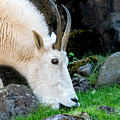 Rocky Mountain Goat Busy Eating by Em Witherspoon