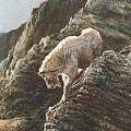 Rocky Mountain Goat by Steve Greco
