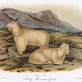 Rocky Mountain Goats by Granger