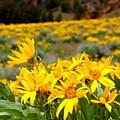 Rocky Mountain Helianthella by Gemdelin Jackson