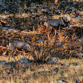 Rocky Mountain National Park Deer Colorado by Paul Vitko