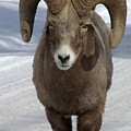 Rocky Mountain Ram In Winter by Tiffany Vest