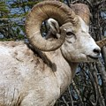 Rocky Mountain Ram by Tiffany Vest