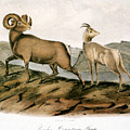 Rocky Mountain Sheep, 1846 by Granger