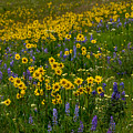 Rocky Mountain Wildflowers by Tranquil Light  Photography