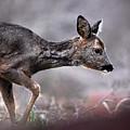 Roe Deer by Gavin Macrae