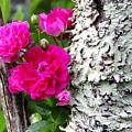 Rogue Rose by Thomas R Fletcher
