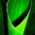Rolled Canna Leaf by Beth Akerman
