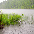 Rolley Lake Reeds In The Rain by Sharon Talson