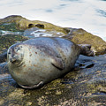 Roly Poly Seal by Amy Sorvillo