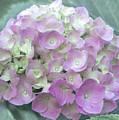 Romantic Pink Hydrangea by Amy Sorvillo