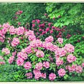 Romantic Rhododendrons by Carol Groenen