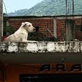 Rooftop Dog, South America by Karen Zuk Rosenblatt