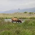 Roosevelt Elk 1 by Rich Bodane