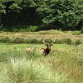 Roosevelt Elk 2 by Rich Bodane