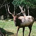 Roosevelt Elk by John Huntsman