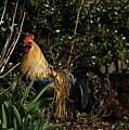 Rooster 2 by Douglas Barnett