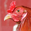 Rooster Close-up On A Reddish Background by James BO Insogna
