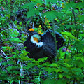 Rooster Grouse Posing by Jeff Swan