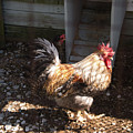 Rooster In A Coop by Diane Schuler
