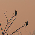 Roosting Bald Eagles by Dennis Hammer