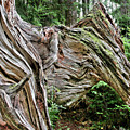 Roots - Welcome To Olympic National Park Wa Usa by Christine Till