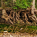 Roots by Christopher Holmes