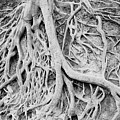 Roots In Black And White by Steve Shockley
