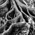 Roots by Susan Molnar