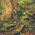 Roots  by Viviana  Nadowski