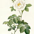 Rosa Alba Flore Pleno by Pierre Joseph Redoute