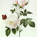 Rosa Bengale The Hymenes by Pierre Joseph Redoute