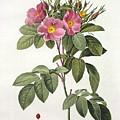 Rosa Carolina Corymbosa by Pierre Joseph Redoute