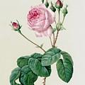 Rosa Centifolia Bullata by Pierre Joseph Redoute