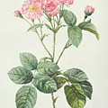 Rosa Centifolia Caryophyllea by Pierre Joseph Redoute