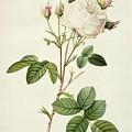 Rosa Centifolia Mutabilis by Pierre Joseph Redoute
