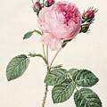 Rosa Centifolia by Pierre Joseph Redoute