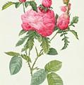 Rosa Centifolia Prolifera Foliacea by Pierre Joseph Redoute