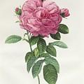 Rosa Gallica Flore Giganteo by Pierre Joseph Redoute