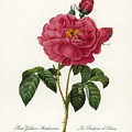 Rosa Gallica by Granger