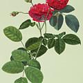 Rosa Holoferica Multiplex by Georg Dionysius Ehret