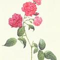 Rosa Indica Caryophyllea by Pierre Joseph Redoute