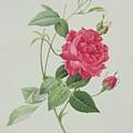 Rosa Indica Cruenta by Pierre Joseph Redoute